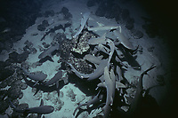 Whitetip Reef Sharks (Triaenodon obesus) hunting for reef fish in coral at night, Cocos Island, Costa Rica - Pacific Ocean