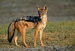 Black-backed jackal, Ngorongoro Conservation Area, Tanzania