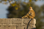 Yellow Baboon (Papio cynocephalus) juvenile on wall, Kafue National Park, Zambia