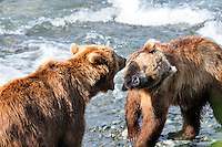 Two brown bears fight over fishing rights at Alaska's McNeil River State Game Sanctuary.