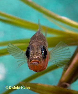 1S14-534z  Male Threespine Stickleback, Mating colors showing bright red belly and blue eyes, close-up of face, Gasterosteus aculeatus,  Hotel Lake British Columbia