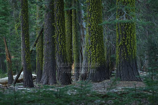 Red Fir (Abies magnifica), Yosemite National Park, California, USA