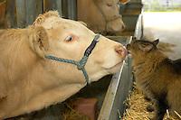 Farm cat licking the nose of a Blonde d'Aquitaine heifer.
