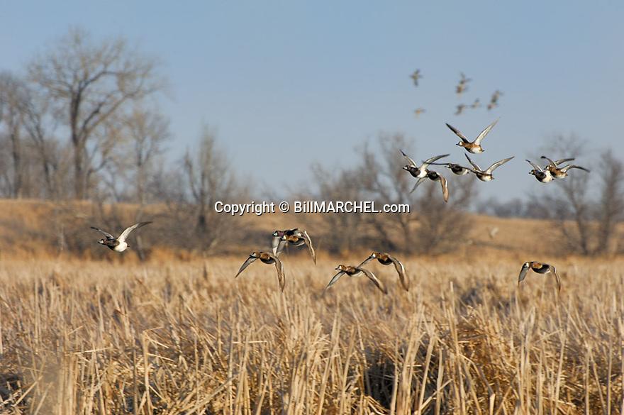 00342-006.19 Lesser Scaup (DIGITAL) flock in flight low over cattail marsh.  Wetland, waterfowl, hunt, fly, action, bluebill. H1L1