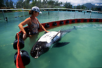 Melon-headed Whale (Peponocephala electra) recieves care from marine mammal researchers after being stranded on an Oahu beach. The white substance on their skin is a form of sunscreen.These whales were kept in special pens at the Marine Corps Base in Kaneohe Bay, Oahu, Hawaii.