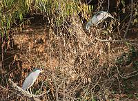 Black-crowned Night Herons, Nycticorax nycticorax, at Colusa National Wildlife Refuge, California