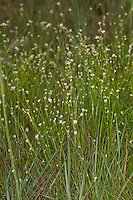 Weißes Schnabelried, Weiße Schnabelbinse, Rhynchospora alba, White beak-sedge, White beaksedge, White beak sedge, White beak-rush