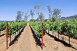 Napa Valey Vineyard with backdrop of cottonwood trees.