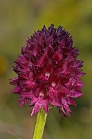 Schwarzes Kohlröschen, Männertreu, Blutströpfchen-Kohlröschen, Nigritella nigra, Gymnadenia nigra, Black vanilla orchid