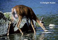 MA22-007z  White-tailed Deer - drinking from pond - Odocoileus virginianus