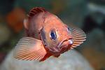 acadian redfish on deep boulder reef, face view