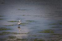 As the tide starts to come in, a Great Blue Heron explores San Leandro Bay at the MLK Regional Shoreline near the Oakland International Airport.