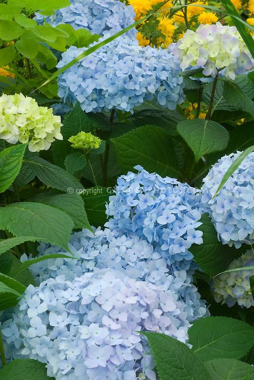 Blue Hydrangea macrophylla Endless Summer shrub in bloom with many blue flowerheads