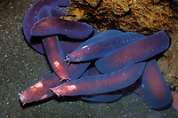 "Pacific hagfish (""slime eel""), Eptatretus stouti, Phylum Chordata, Class Myxini (jawless fish), Order Myxiniformes, Family Myxinidae, Deep-sea Pacific Ocean (c)"