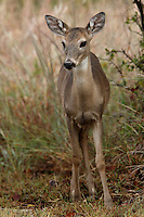 Whitetail fawn @ six months in November..