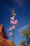 Foxglove Penstemon along Little Horse Trail, near Sedona, Arizona