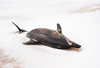 Atlantic white-sided dolphin, Lagenorhynchus acutus, dead dolphin that was stranded in winter, Cape Cod, Massachusetts, USA, Atlatnic Ocean