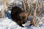 Fisher (Martes pennanti) walking in the snow.  Minnesota.