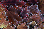 Red oak and maple leaves in frost<br />