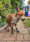 """SUSPICIOUS MINDS<br /> <br /> Pictured: This inquisitive fox isn't shy of people as it edges closer to the camera and shows off by giving her best Elvis Presley impression.<br /> <br /> The fox, known by photographer Paul Lunn as 'Foxy Loxy' has been visiting his families garden in Rochford, Essex for two years and has become a part of the family. <br /> <br /> She can be seen sniffing some food left for her and shows off to the camera, giving her best Elvis Presley impression. <br /> <br /> 40 year-old Mr Lunn said """"She is very inquisitive and isn't shy at coming up to you. In the image she was caught just as she was about to lick her lips"""".<br /> <br /> Please byline: Paul Lunn/Solent News<br /> <br /> © Paul Lunn/Solent News & Photo Agency<br /> UK +44 (0) 2380 458800"""