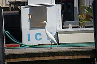 White Heron/Crane on commercial dock near ice machine and fuel pump. On intercoastal waterway near St. Petersberg Florida. Spring 2007.