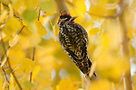 Portrait of a red-naped sapsucker perched in an Aspen tree in Wyoming.