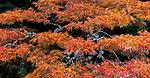 Art Wolfe yard, Seattle, Washington, Japanese maple