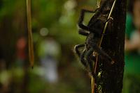 Aranha caranguejeira.<br /> Região das Ilhas.