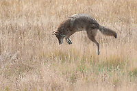 Coyote leaps to pounce on prey in Rocky Mountain National Park, Colorado