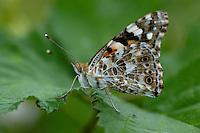 Distelvlinder (Cynthia cardui)