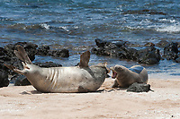 Hawaiian monk seals, Neomonachus schauinslandi, Critically Endangered endemic species; a 20+ year old male (R306), left, fights with a 5 year old male (RO36), right, over access to females; on beach at west end of Molokai, Hawaii
