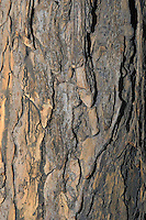 White Elm tree (Ulmus americana), close-up of bark. Carolinian Forest. Canada's smallest and most southerly forest. Lake Erie shore, Ontario.