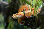 Adult Eyelash Pit Viper or  Eyelash Viper (Bothriechis schlegelii) (Viperidae: Crotalinae). Distictive yellow / orange 'oropel' form. Arboreal species resting in mid-altitude rainforest under storey. Caribbean slope, Costa Rica, Central America. (highly venomous).
