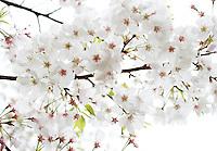 Stock photo: white cherry blossom branch full, looks dreamy against white sky.