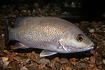 Gray snapper swimming right