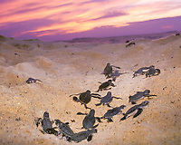 green sea turtle, Chelonia mydas, hatchlings emerging from nest on beach at dawn, Selingaan, Turtle Islands, Borneo, Malaysia (cr)