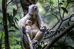 Female silky sifaka (Propithecus candidus) with 3-4 month old infant in rainforest understorey. Mid-altitude montane rainforest, Marojejy National Park, north-east Madagascar. Endemic. Critically Endangered.