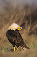 Crested Caracara, Caracara plancus, adult walking, Starr County, Rio Grande Valley, Texas, USA