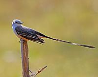 Adult male scissor-tailed flycatcher