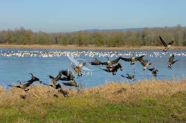 Canadian Geese (Branta canadensis) with tundra swans in background.  Pacific Northwest.  Winter.