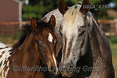 Bob, ANIMALS, REALISTISCHE TIERE, ANIMALES REALISTICOS, horses, photos+++++,GBLA4392,#a#, EVERYDAY