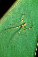 The Hawaiian happyface spider, (theridion grallator). Taken near the volcanoes NP Hawaii.
