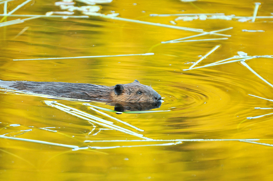 Natures undisputed king of aquatic engineering, Castor canadensis or the beaver.