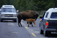 Buffalo in Yellowstone National Park. Yellowstone is the nations first National Park, it spans three states and holds 70% of the world's geothermal activity.