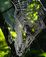 Garden spider is backlit by sun in the middle of the web with trees in background in the woods.