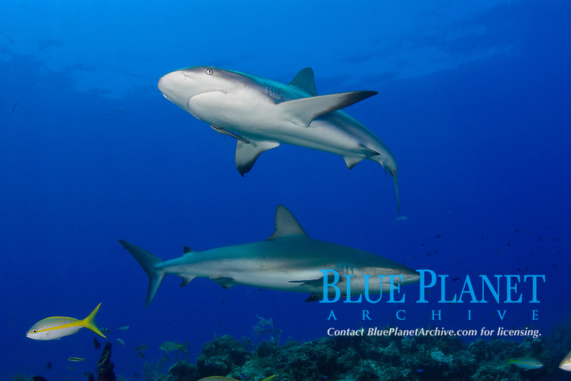 Caribbean reef shark, Carcharhinus perezii, Little Bahama Bank, The Bahamas, Atlantic Ocean