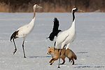 Red Fox and Japanese Cranes, Japan