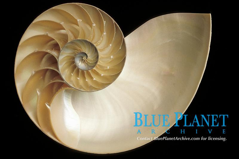 chambered nautilus, cross section