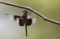 Widow Skimmer (Libellula luctuosa) is one of the group of dragonflies known as king skimmers.