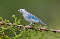 Blue-gray Tanager or Blue-grey Tanager (Thraupis episcopus).  Found from Mexico south to the Amazon Basin of Brazil.  This one photographed in Costa Rica.